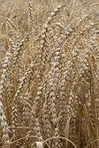 Closeup of dry wheat — Stock Photo