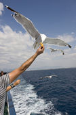 Feeding seagull — Stock Photo