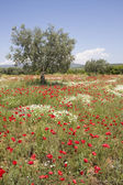 Olive tree in poppy field — Stock Photo