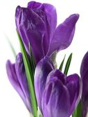 Crocus — Stockfoto