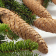 Cone spruce - Foto Stock