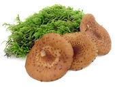 Edible fungus — Stock Photo