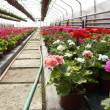 Flowers in greenhouse — Stock Photo #2393928