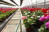 Flowers in greenhouse — Stock Photo