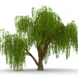 3d green tree weeping willow isolate - Stock Photo
