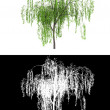 New wipping willow tree — Stock Photo