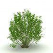 Green bush isolated on white background - Stock Photo