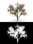 Blooming tree with pink flower isolated — Stock Photo