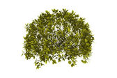 Decorative bush with clipping path — Stock Photo