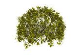 Decorative bush with clipping path — Stock Photo