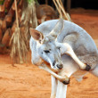 Kangaroo — Stock Photo #2621217