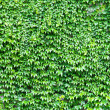 Royalty-Free Stock Photo: Leaves wall