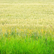 Wheat crops — Foto Stock