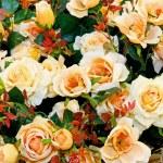 Постер, плакат: Yellow roses