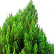 Conifer tree — Stock Photo #2176717
