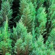 Stock Photo: Evergreen texture