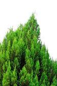 Conifer tree — Stock Photo