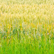 Wheat crops 2 — Foto Stock