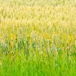 Wheat crops 2 — Stock Photo