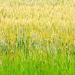 Wheat crops 2 — Stock Photo #2205929