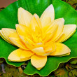 Water lily — Stock Photo #2263044