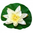 White water lily — Foto Stock