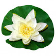 White water lily - Foto Stock