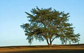 Cedar Tree — Stock Photo
