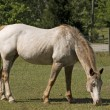 Appy Mare Grazing — Stock Photo
