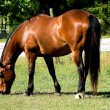 Bay Horse Grazing — Stock Photo