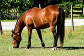 Bay Horse Grazing — Stock Photo