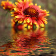 Stock Photo: Flower reflection