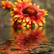 Flower reflection — Stock Photo #2050884