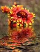 Flower reflection — Stock Photo