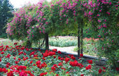 Rose garden — Stock Photo
