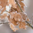 The branch with frosted dry oak leaves — Stock Photo