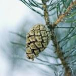 Pine cone — Stock Photo #2082320