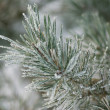 Frosted pine tree — Stock Photo