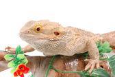 Australian dragon lizard — Stock Photo