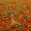 Foto Stock: Red flower field