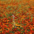 Campo fiore rosso — Foto Stock