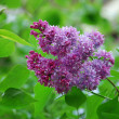 Spring flowering lilac — Stock Photo