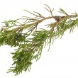 Twig of juniper with old berries — 图库照片