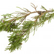 Twig of juniper with old berries - Stock Photo