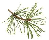 White pine takje met een bloem bud — Stockfoto
