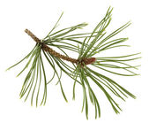 White pine twig with a flower bud — 图库照片