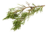 Twig of juniper with old berries — Stock Photo