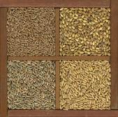 Zrno pšenice, ječmene, ovsa a žita — Stock fotografie