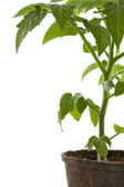 Tomato plant in biodegradable peatpot — Stock Photo