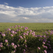 Wildflowers and short grass prairie - Stock Photo